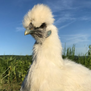 whole silkie chicken organic ways farm